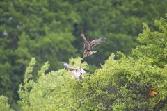 weibliche Rohrweihe attackiert Mäusebussard